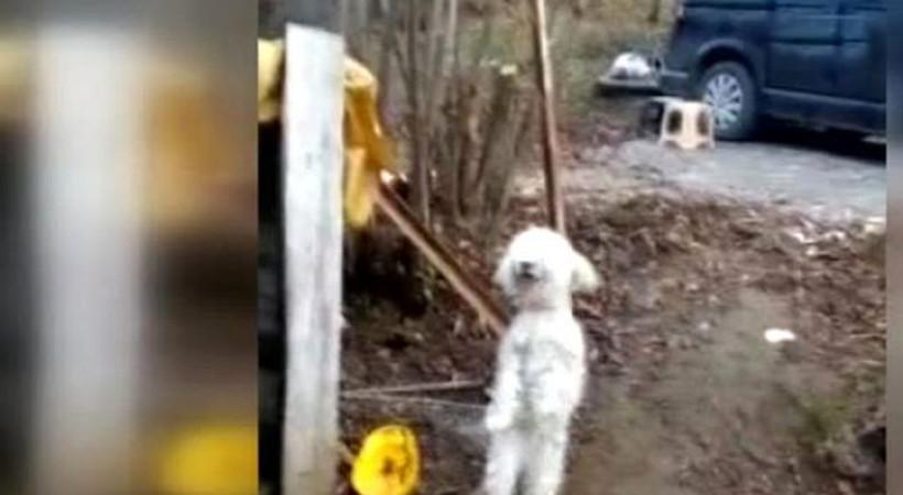 Horon oynayan köpek sosyal medyayı salladı!